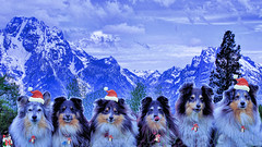 Sheltie Christmas magic (Sheltie World) Tags: usa yellowstone sheltiestoriessheltiesonlinesheltiephotos bluemerlesheltiemisty crazygangsheltieworld jazzhalosheltietridogportraitmolly dogportraitlandscape doganimal christmasstoriesxmas grandtetonmountainsrange snow wintersnow