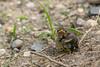 American Redstart (janelle.streed) Tags: americanredstart redstart setophagaruticilla bird animal wildlife beautyinnature nature outdoors minnesota tamaracwildliferefuge rochert baby babyanimal babybird fledgling