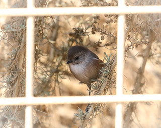 California Christmas ....Bushtit poses on a Happy Fence Terrenea Resort Palos Verdes Pennisula  028