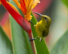 Olive-backed Sunbird (Female) (Chris.Kookaburra) Tags: birds nectariniajugularis olivebacked sunbird olivebackedsunbird avian ornithology birdwatching