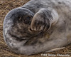 Christmas is so close you can smell it (davidrhall1234) Tags: greysealhalichoerusgrypus seal sealpup animal donnanook mammal countryside coastal coast conservation environment nature nikon outdoors shore shoreline sea world wildlife wildlifetrust
