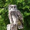 Verreaux's eagle-owl (Karls Kamera) Tags: verreauxs eagleowl cavalli muncaster bird owl perch grey