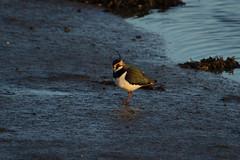 Lapwing (jon lees) Tags: waders assi strangfordlough newtownards flood gates mud shore birds foraging coastal wintering lapwing peewit