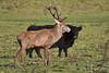 Wildlife Red Deer and Galloway (Susanne Weber) Tags: galloway sven hirsch reddeer rotwild rothirsch natur rind tier