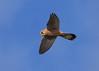 Kestral ANR 28th Dec 2017 (Nigel B2010) Tags: kestral nature wildlife blue attenborough nottinghamshire flying flight olympus panasonic 100400 omd em1mkii hunting hovering hover