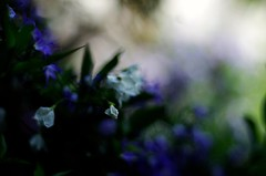 Flowers abstract (Stefano Rugolo) Tags: stefanorugolo pentax k5 pentaxk5 smcpentaxm50mmf17 bokeh blur flowers abstract blue colors depthoffield summer italy lazio purple