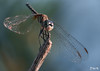 Just Stick with It… (Don's Photostream) Tags: don bokeh wings bug insect dragonfly wood stick