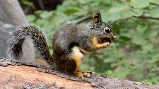 Squirrel in Yosemite National Park (USA)