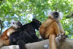 lemurs at the sacred banyan tree