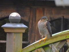 Sperber - sparrow hawk (Sophia-Fatima) Tags: mygarden meingarten naturgarten gardening sperber sparrowhawk sichtschutz