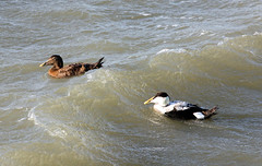 Eider Duck Pair! (RiverCrouchWalker) Tags: eiderduck ducks coast essex southendonsea winter january 2018 birds somateriamollissima seaduck