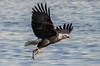 Gotcha! (114berg) Tags: 06jan18 bald eagles mississippi river ld14 leclaire iowa