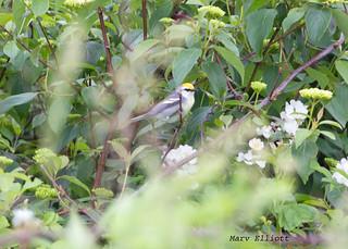 8544 Blue-winged Warbler