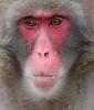 Japanese macaque artis BB2A8878 (j.a.kok) Tags: makaak macaque macaca japansemakaak japanesemacaque japan artis aap primaat primate mammal zoogdier dier animal asia azie