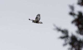 Rough-legged Hawk - early winter 2017