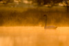 Swan in an orange (lookashG) Tags: sonyilca77m2 300mmf28 animalia aves cygnusolor muteswan animal animals backlight bird birds breakofday dawn daybreak fauna fog haze lookashggmailcom mgła mgły mist morning natura nature orange podświetlenie pomarańcz pomarańczowy pool poranek portraitofenvironmental portretśrodowiskowy ptak ptaki ranek rano rearlight rozlewisko sun sunrise sunup słońce tylneświatło wet wildlife wschód wschódsłońca zaranie zwierzęta łabędź łukaszgwiździel łabędźniemy świt