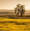 Late Afternoon in the Laguna de Santa Rosa (allentimothy1947) Tags: california lagunadesantarosa santarosa landscape silhoettes trees golden hour light sonomacounty oaktree vineyard vines photography