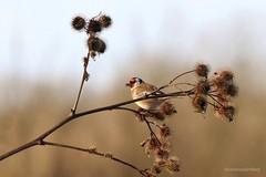 Puttertje (Manon van der Burg) Tags: natuurfotografie sigma100400mm canon80d indemiddagzon birdlover birdphotography birdwatching vogelen biesbosch distelvink puttertje goldfinch