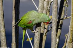 Alexandrine Parakeet, Female, Swakopmund, Namibia. (Lassetjus photo) Tags: swakopmund erongoregion namibia na parrot green redbeek