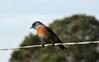 Bluebird on a wire (TJ Gehling) Tags: bird songbird turdidae bluebird westernbluebird sialia sialiamexicana fence wire pointmolate richmondca