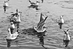 Migratory Birds . . (Rk Rao) Tags: bw blackandwhite morningbeauty yamunaghat migratorybirds mesmerising monochrome morningglory fineart fineartphotography art artistic morningshot devotee oldman boat nature river travel people places spiritual spirituality birdsflying indiancuture incredibleindi artisticpose water reflections newdelhi delhi india