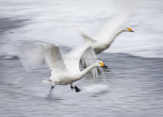 The beauty of Swans