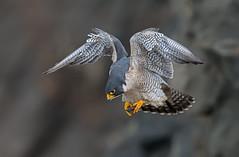 Peregrine falcon (M) (knobby6) Tags: peregrine falcon tiercel birdofprey hawk california nikond500 500mmf4