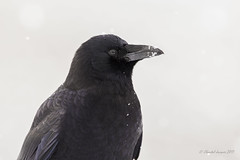 White Christmas Forever - Northwestern Crow (Chantal Jacques Photography) Tags: whitechristmasseries wildandfree bokeh depthoffield northwesterncrow forever christmasmemories