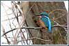 Martin-pêcheur 171227-02-RP (paul.vetter) Tags: oiseau ornithologie ornithology faune animal bird martinpêcheur alcedoatthis eisvogel kingfisher