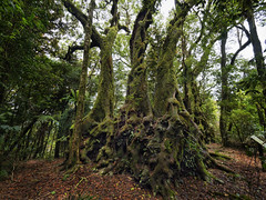 Antarctic Beech - Springbrook (philipsavory) Tags: hdri springbrook arcticbeech tree