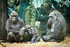 2017-12-31-11h28m12.BL7R7609 (A.J. Haverkamp) Tags: canonef100400mmf4556lisiiusmlens shae shambe shindy amsterdam noordholland netherlands zoo dierentuin httpwwwartisnl artis thenetherlands gorilla sindy pobrotterdamthenetherlands dob03061985 pobamsterdamthenetherlands dob21012016 dob04092011 nl