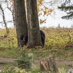 Black Bears, Mother and Cubs, Waskesiu Lake, Prince Albert National Park thumbnail