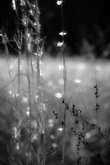 sparkling light in a cold meadow (courtney065) Tags: nikond800 nature landscapes meadow grasses flora foliage depthoffield bokeh blurred artistic serene winter cold mono monochrome blackandwhite lights sparkling glistening shimmering seeds field glow texture soft serenitynow