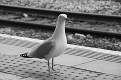 Hello - welcome to Cardiff Central - let me relieve you of your bacon sandwich or any other food you have. (Dai Lygad) Tags: birds closeup stations terminals terminus cardiff seagulls cardiffcentral platform tracks stock photos images pictures photographs photography jeremysegrott wales geotagged canon camera eos 80d noiretblanc blackandwhite bw bandw nature wildlife urban city uk unitedkingdom greatbritain expression railways railroads mouette mouettes oiseau january 2018 outside outdoors seabirds urbangulls cities inland bold town nice creativecommons attributionlicense attributionlicence freetouse royaltyfree forwebsite forwebpage forblog forpresentation forpowerpoint ccsearch dailygad cymru gwylanod llun platformedge rails railwayline paysdegalles caerdydd