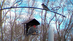 A Pair of Peckers (blazer8696) Tags: 2017 brookfield ct connecticut ecw obtusehill t2017 table usa unitedstates bellied carolinus downy downywoodpecker dowo melanerpes melanerpescarolinus melcar picidae piciformes picoides picoidespubescens picpub pubescens rbwo red redbellied redbelliedwoodpecker woodpecker