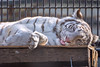 Shiranami ♀ -  dead Gorgeous (Belteshazzar (AKA Harimau Kayu)) Tags: tiger whitetiger tigress cat bigcat feline animal mammal carnivore predator beast zoo utsunomiyazoo utsunomiya tochigi japan beauty charm gorgeous lovely cute charming shiranami whitecap