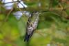 Green-crowned Brilliant (Heliodoxa jacula) - Monteverde Cloud Forest, Costa Rica (Andrew Bradford Images) Tags: hummingbird hummer heliodoxajacula heliodoxa brilliant greencrownedbrilliant
