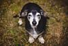 Growing Older (Olizwell) Tags: leon dog old dachshund black grass backyard portrait pet littledoglaughedstories