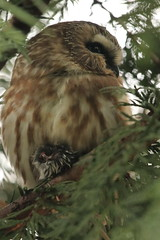 Northern Saw-whet Owl (Zach Hawn) Tags: nisquallynationalwildliferefuge nnwr billyfrank wildlife animal nature naturalist birding wetlands tideflats pugetsound southsound wander estuary river wa washington pacificnorthwest pnw western