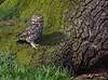 Little Owl, checking before entering her nest (neil 36) Tags: little owl tiger enclosure her calls tigers approach nest yorkshire wildlife park doncaster south