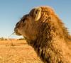 Dromedary portrait (missfisher') Tags: dromedary camel africa sahara desert ergchebbi