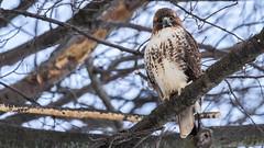 Red-tailed Hawk (JMFusco) Tags: rye wildlife hawk ryeplayland nature bird birds newyork westchestercounty raptor birdofprey redtailedhawk