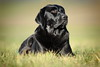 finally quiet (uwe.kast) Tags: labrador labradorretriever labradorredriver hund haustier dog bichou bokeh gras licht light canon canon750d ef70200mm black
