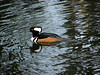 The Wet Head is Very Much Alive (ambrknr) Tags: animal bird duck hooded merganser diving nature wetlands fowl water waterfowl pacific northwest eugene western oregon willamette valley delta ponds