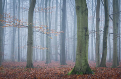 Nebelwald (Petra Runge) Tags: nebel wald buchen natur landschaft misty fog woods forest nature landscape germany deutschland beeches