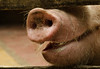 Heriberta.....🐽 (dia 3 ) (joaquinsosaabad) Tags: pigs cerdos cerdo chanco heriberta bebe 50mm d5100 365