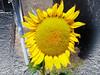 By: RainBoy (Guilherme Alex) Tags: flowers colorfull nature garden life day amateur art beatifull cutout bw yellow sunflower