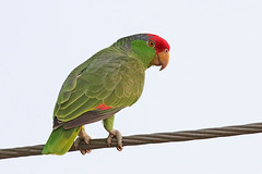 Red-crowned Parrot (Alan Gutsell) Tags: texasbirds texas southtexasbirds wildlife naturephoto photo canon hotspots alan redcrowned parrot redcrownedparrot red crowned