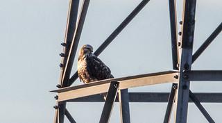 IMG_1893 Rough Legged Hawk