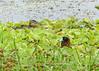 Pato Encapuchado, Masked Duck (Oxyura dominica) (Nomonyx dominicus)